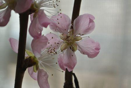 ひだまり 桃の花.jpg