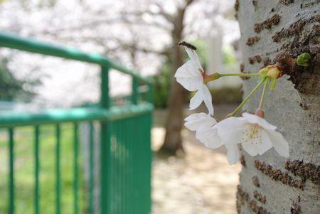 ひだまり 近所の桜.jpg