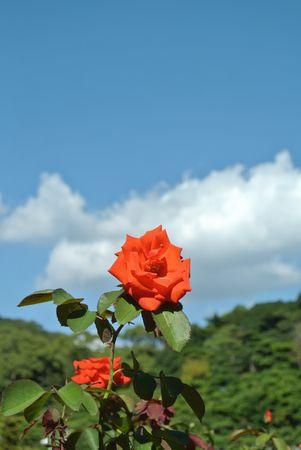 ひだまり 離宮 赤バラ.jpg