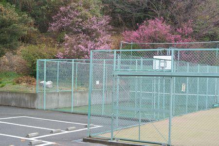 朝散歩 テニスコートの梅.jpg